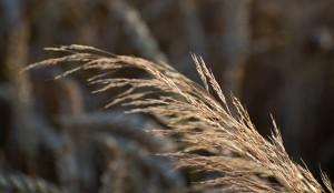 Getreide.jpg