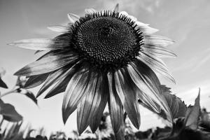 Sonnenblume_sw.jpg